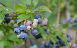 bilberry benefits for eyes