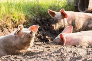 Pork Parasites 2