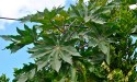 the leaves of the castor bean plant