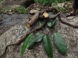 Birchwort root is very poisounous
