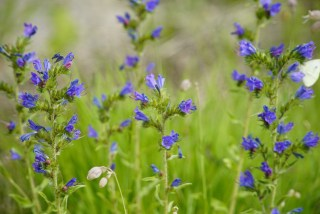 Bugloss plant for healthy skin