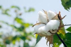 healthy cotton plant