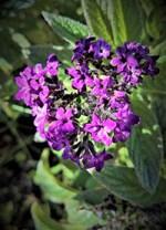 Heliotrope Plant Health Benefits 1