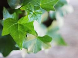 The medicinal properties of ivy