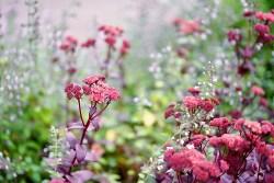 livelong plant flowers