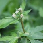 Sanicle Plant Health Benefits 12