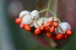 spindle tree images
