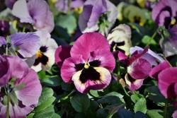 pansy plant health benefits