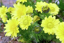 adonis vernalis homeopathic medicine