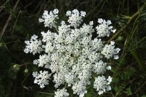 Anise Plant Health Benefits 1