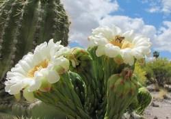 benefits of cactus plant