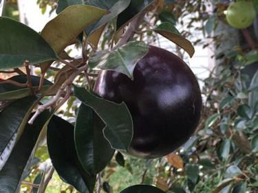 caimito plant leaves benefits