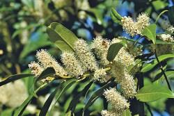 Laurel Plant Health Benefits 1