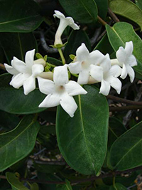 medicinal uses of condurango