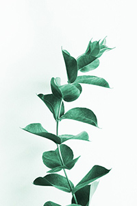 eucalyptus plant in shower benefits