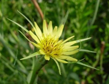 yellow goatsbeard plant wildflower