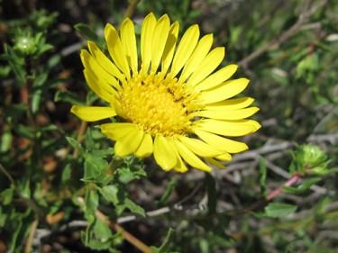 gum plant medicinal uses