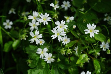 how to use chickweed