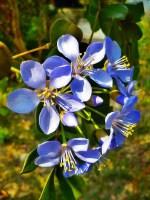 lignum vitae tree images