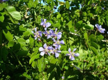 Lignum Vitae Tree Health Benefits 1