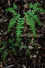 maidenhair fern plant benefits