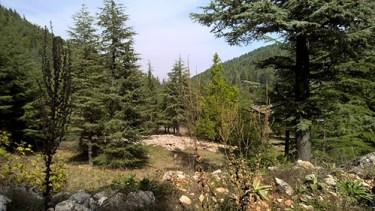 pine sap medicinal uses