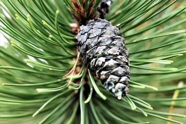 pine tree medicinal uses