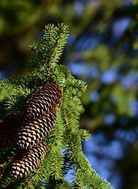 pine tree scientific name