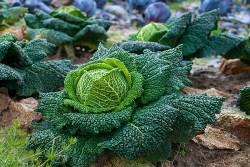 plant cabbage health benefits