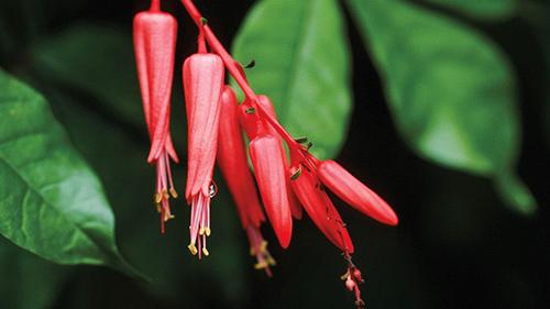 quassia plant homeopathic medicine