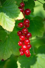 red currant nutritional benefits