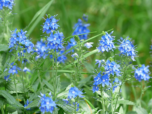 speedwell plant medicinal uses