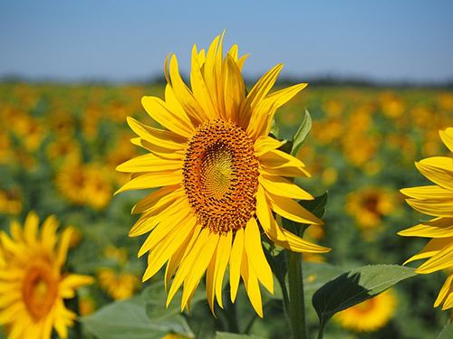 sunflower plant leaves benefits