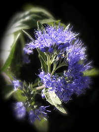what is hyssop used for