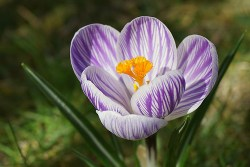 what is saffron used for