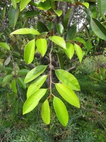 what star apple good for