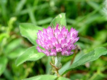 wild clover nutrition