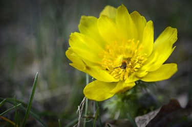 yellow adonis flower