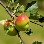 Apple Tree Health Benefits 8