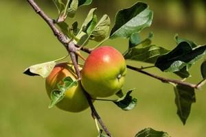 Apple Tree Health Benefits 2
