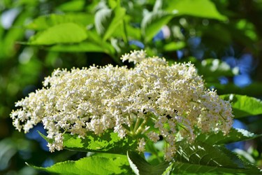black elder plant