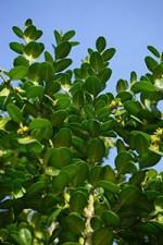 boxwood plant uses