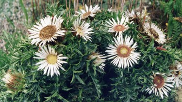 carline thistle root benefits