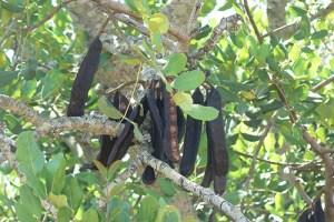 Carob Tree Health Benefits 4