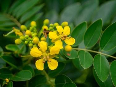 cassia angustifolia benefits