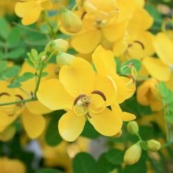 Cassia Angustifolia Health Benefits 1