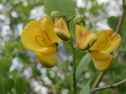 colutea arborescens medicinal uses