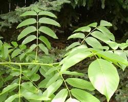 english walnut tree leaves