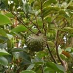 Guanabana Benefits 9