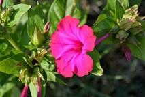 Jalap Plant Health Benefits 1